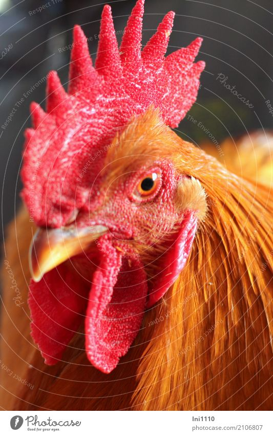 cock Animal Pet Bird Animal face Rooster 1 Observe Esthetic Beautiful Curiosity Brown Multicoloured Yellow Red Black Barn fowl Gamefowl Beak Cockscomb Feather