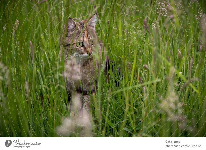 meadow cat Nature Plant Animal Summer Grass Leaf Blossom Blossoming grasses Garden Meadow Pet Cat Tabby cat 1 Observe Sit Growth Beautiful Brown Yellow Green