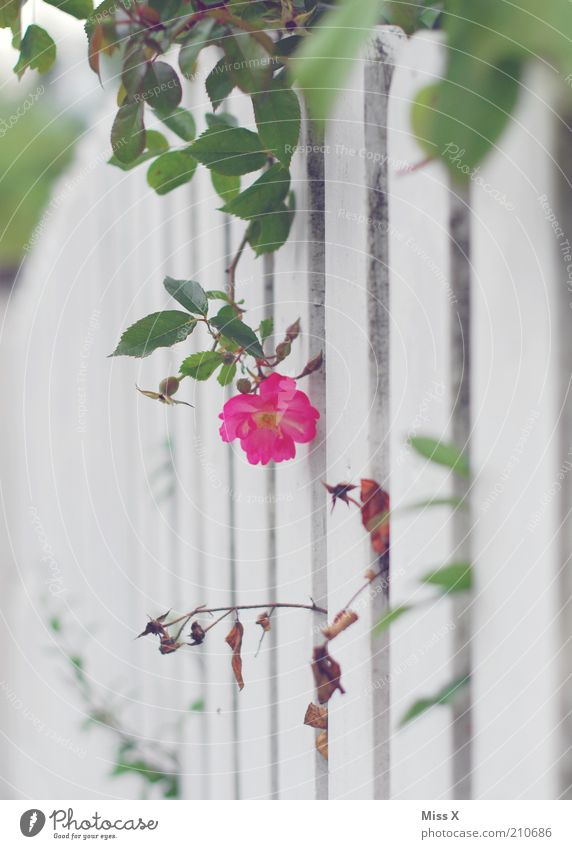 Secret Garden Nature Plant Summer Flower Rose Leaf Blossom Blossoming Fragrance Growth Kitsch Mysterious Nostalgia Garden fence Fence Wild rose Hide