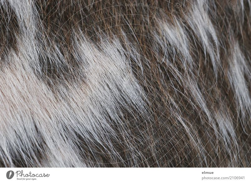 furry from the cow (2) Cow Cattle Pelt Cowhide Bristles Esthetic Simple Uniqueness Natural Clean Brown White Romance Adventure Design Idea Identity Inspiration