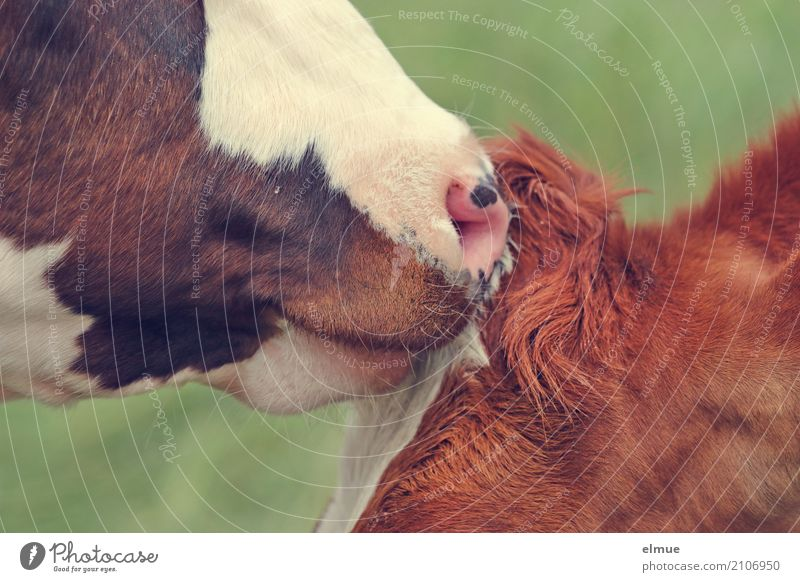 CONTACT Cow Cattle teetotaler Muzzle Nose Bull 2 Animal Communicate Authentic Brown Passion Acceptance Trust Safety (feeling of) Sympathy Love of animals
