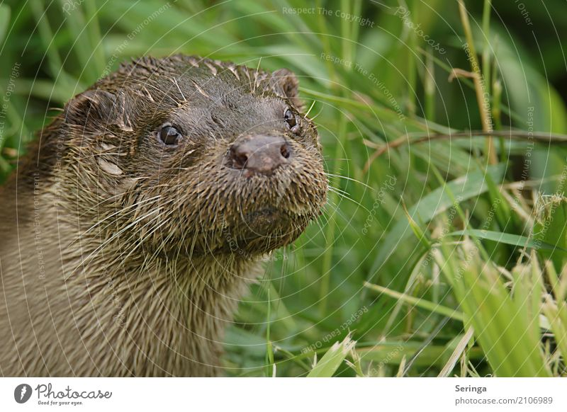 sidelong glance Nature Plant Animal Wild animal Animal face Pelt 1 Looking Otter Common Reed Colour photo Multicoloured Exterior shot Deserted Copy Space right