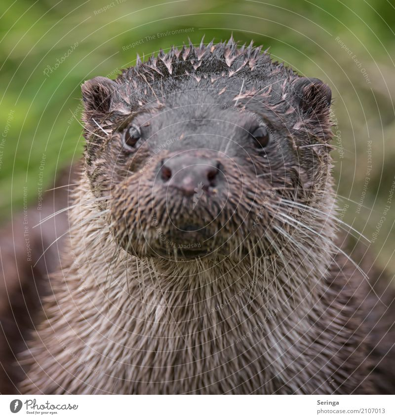Aug in Aug with an otter Animal Wild animal Animal face Pelt 1 Looking Otter Colour photo Multicoloured Exterior shot Detail Copy Space left Day Light Shadow