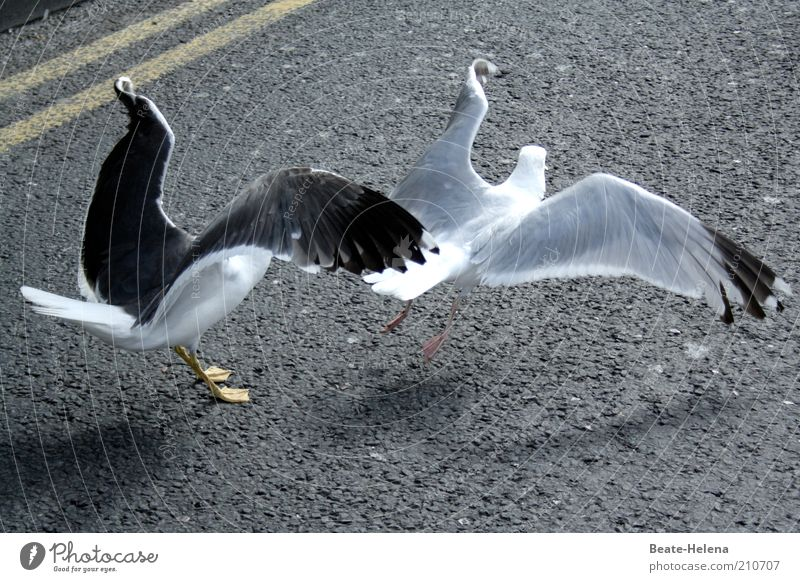 Animal Street Life Movement Gray Contentment Power Elegant Flying Speed Esthetic Team Wing Asphalt Argument Seagull