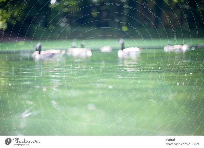 Nature Water Green Summer Animal Park Warmth Bird Environment Group of animals Wild animal Beautiful weather Pond Duck Goose