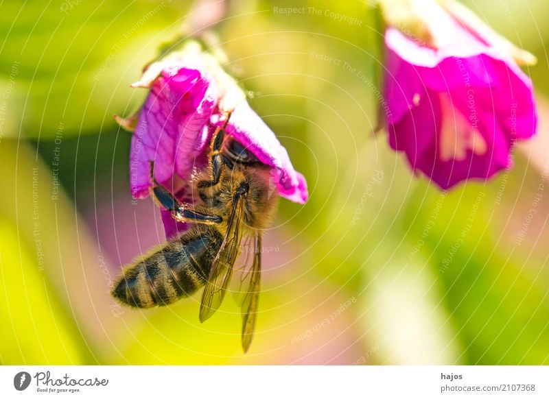 Bee on blossom Beautiful Nature Plant Animal Blossom Illuminate Red Romance Apis mellifera Insect rays sunny Blossom leave Pollen amass Wild germany