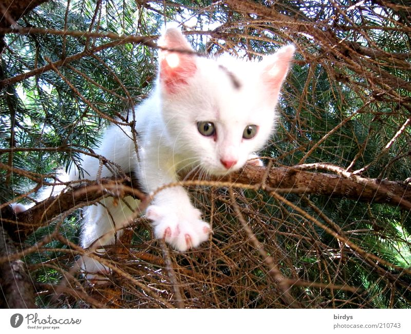 Cat Nature Beautiful White Tree Animal Baby animal Joie de vivre (Vitality) Curiosity Fear of heights Discover Facial expression Brave Animal face Pet Fir tree