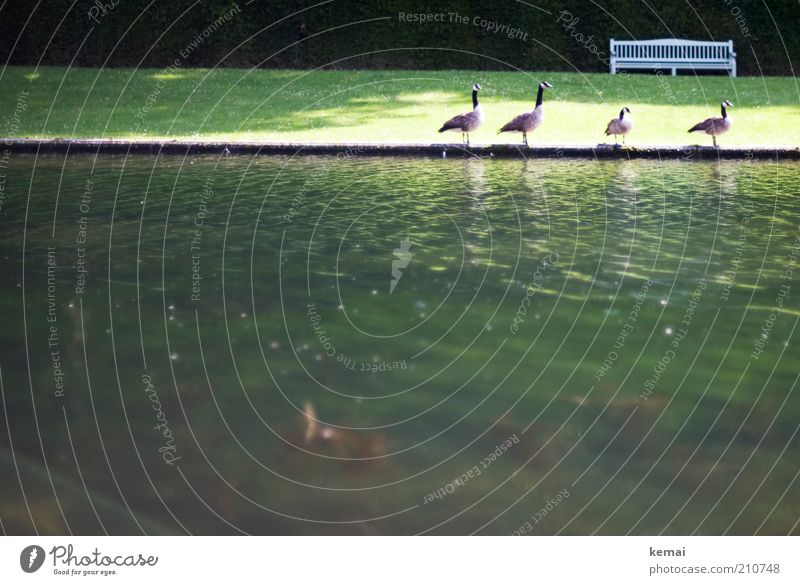 4 friends Environment Nature Landscape Animal Water Sunlight Summer Beautiful weather Warmth Park Meadow Pond Wild animal Bird Duck Goose Canadian goose