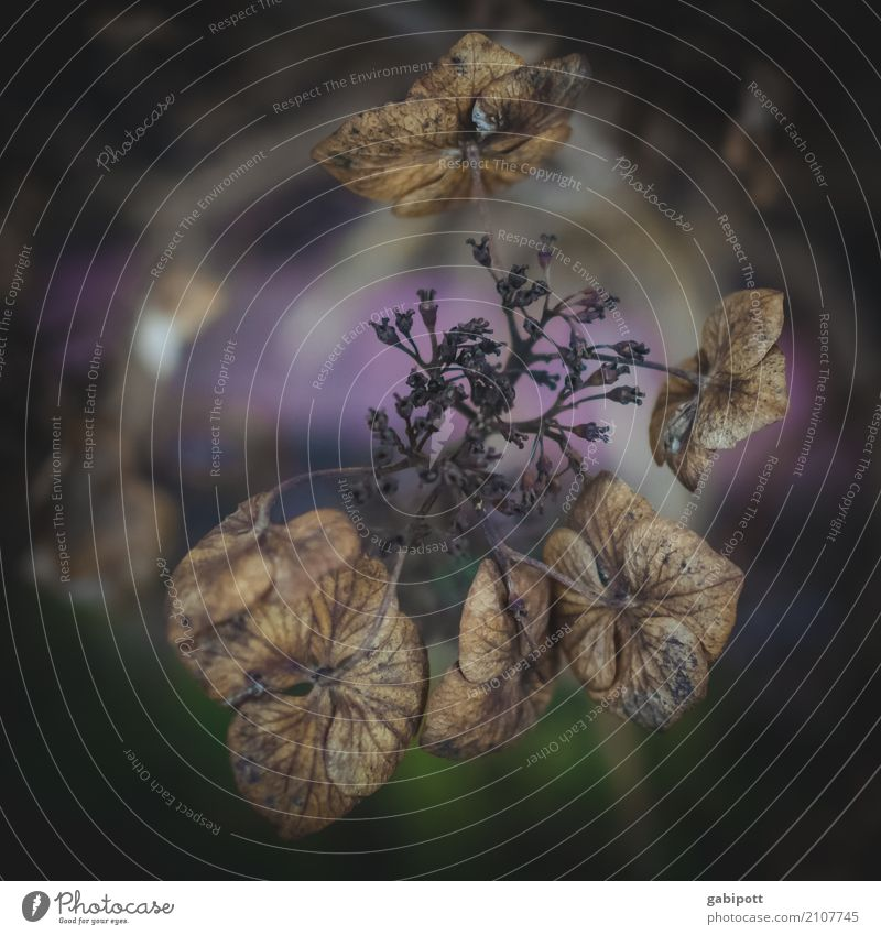 autumn feeling Environment Nature Plant Autumn Climate Flower Leaf Blossom Hydrangea Hydrangea blossom Garden Faded To dry up Natural Dry Wild Blue Brown Violet