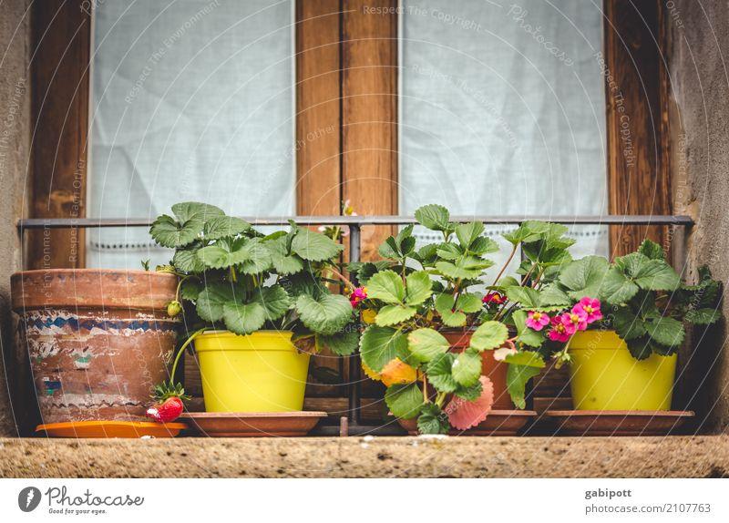 Nature Plant Flower Window Environment Natural City life Beautiful weather Strawberry Flowerpot Window board Window box