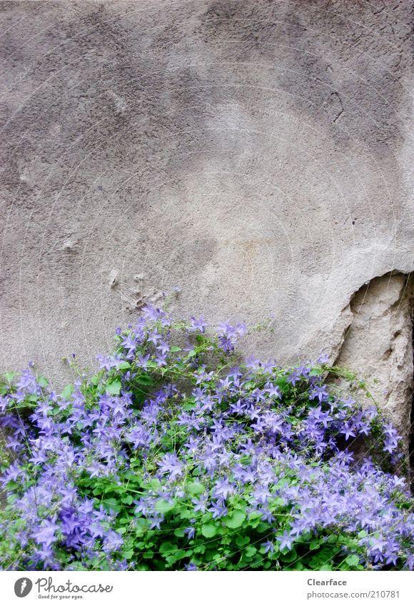 mauerBLÜMCHEN Plant Foliage plant Stone Concrete Old Gloomy Gray Violet Hope wallflower Contrast Loneliness Colour photo Exterior shot Copy Space top Twilight
