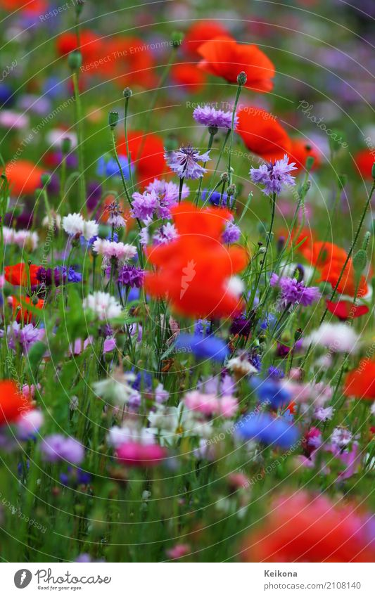 Plant Blue Summer Healthy Eating Landscape Flower Red Relaxation Calm Far-off places Warmth Environment Blossom Meadow Happy