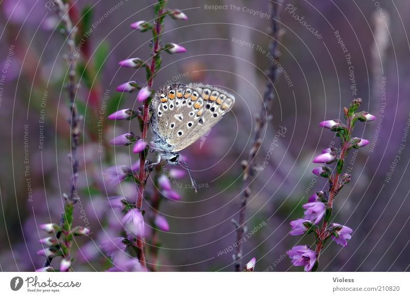 Plant Animal Moody Butterfly Polyommatinae Heather family