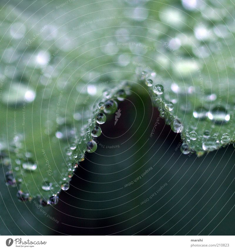 Nature Green Plant Glittering Drops of water Drop Damp Dew Water Foliage plant Macro (Extreme close-up) Hydrophobic Alchemilla vulgaris