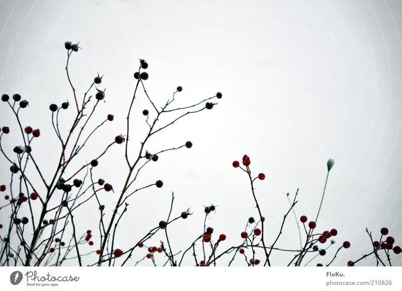 Nature White Plant Red Winter Black Environment Bushes Twig Berries Structures and shapes Silhouette Wild plant Berry bushes