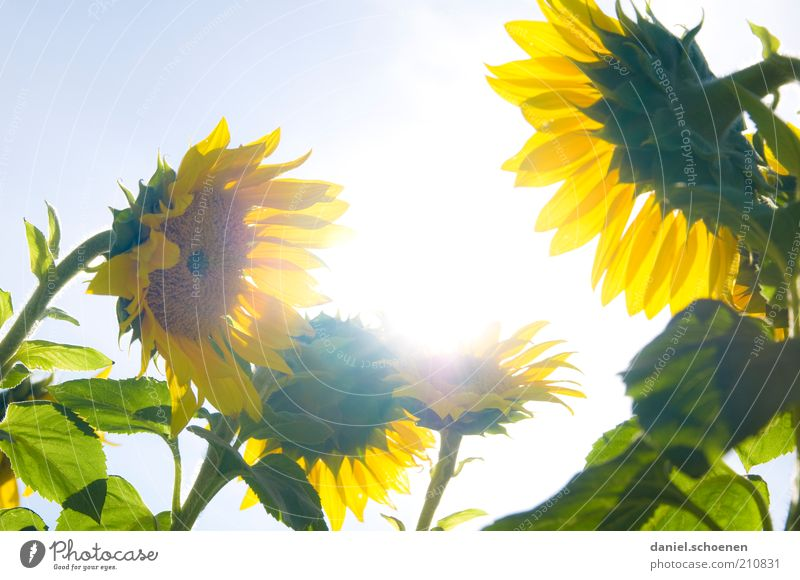 Nature Beautiful Sun Flower Green Blue Plant Summer Leaf Yellow Bright Growth Stalk Sunflower Beautiful weather Summery