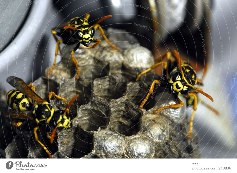 Guardians of the brood - wasps at the wasp nest Nature Animal Wild animal 3 Group of animals Observe Movement Crawl Aggression Threat Near Yellow Emotions Force