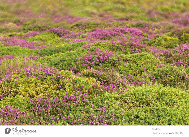 Nature Plant Summer Beautiful Green Landscape Calm Growth Bushes Blossoming Romance Violet Summery North Nordic Great Britain
