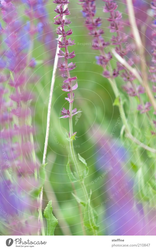 Nature Flower Green Plant Violet Delicate Herbs and spices Lavender Light green