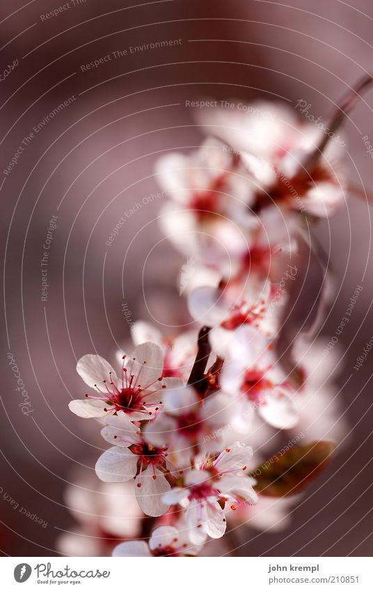 Beautiful White Tree Plant Red Life Blossom Pink Elegant Fresh Growth Soft Change Blossoming Fragrance Positive