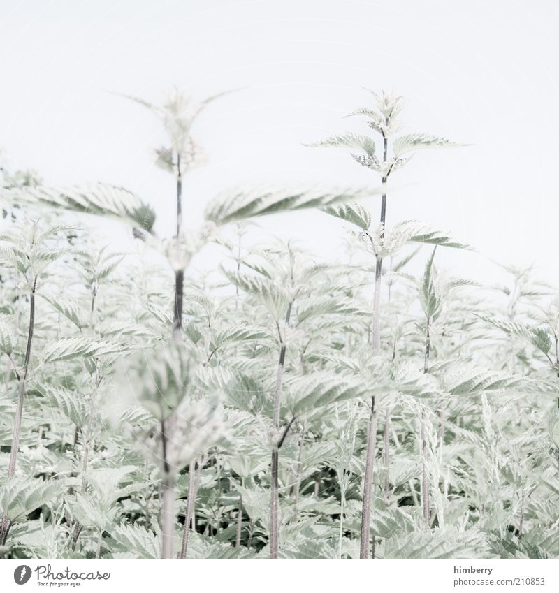 burning sensation Environment Nature Plant Cloudless sky Summer Foliage plant Wild plant Stinging nettle Bright Natural Green White Colour photo Subdued colour