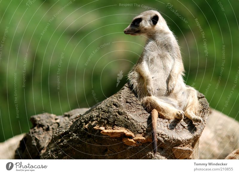 In the executive chair Relaxation Zoology Nature Summer Africa Animal Wild animal Meerkat suricata suricatta suricates Mongoose 1 Observe To enjoy Sit Funny