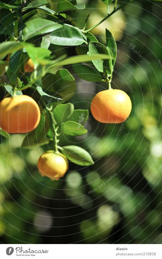 Nature Plant Summer Leaf Food Fruit Fresh Sweet Delicious Mature Hang Exotic Twig Organic produce Vegetarian diet Agricultural crop