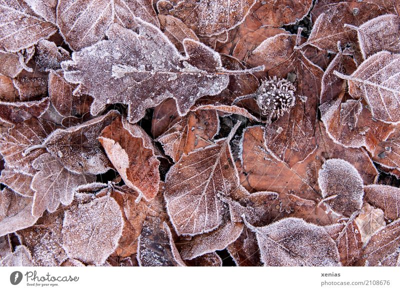 Frosty leaves Autumn Winter Ice Leaf Garden Park Forest Freeze Cold Brown Red Seasons Autumn leaves Heap Colour photo Exterior shot Close-up Deserted