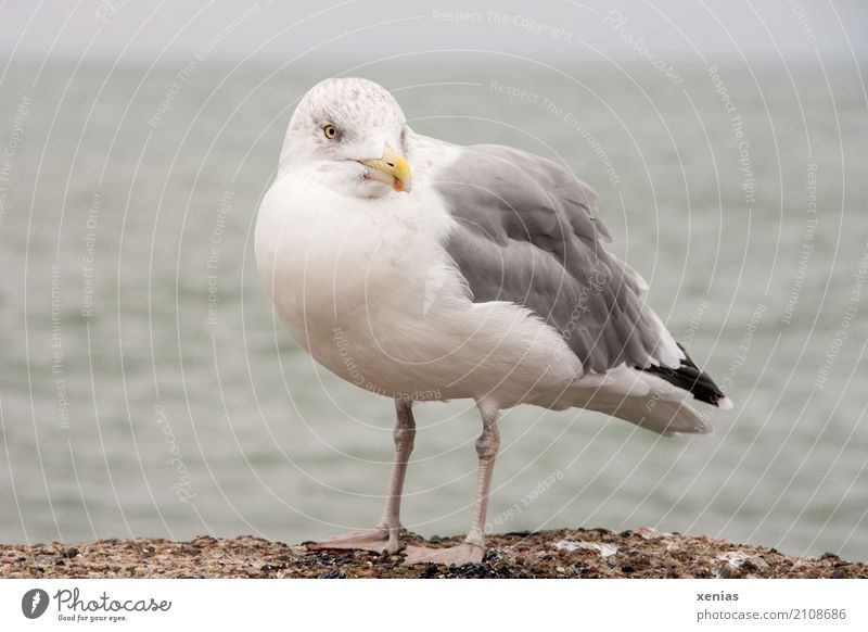 A seagull on the wall Summer vacation Beach Ocean Coast Baltic Sea Harbour Wild animal Bird Seagull Silvery gull 1 Animal Stand Blue Yellow Gray Black White