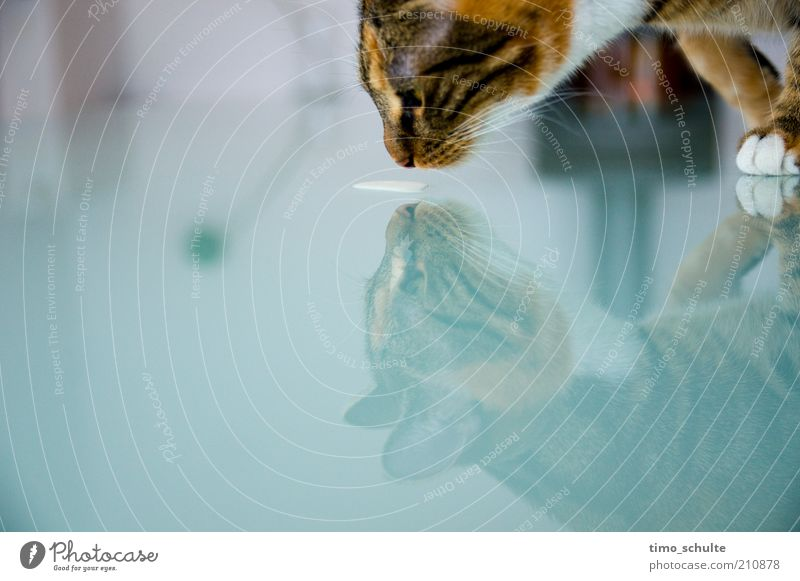 Animal Cat Glass Drinking Animal face Clean Pure Pelt Curiosity Appetite Watchfulness To feed Paw Pet Mirror image Thirst