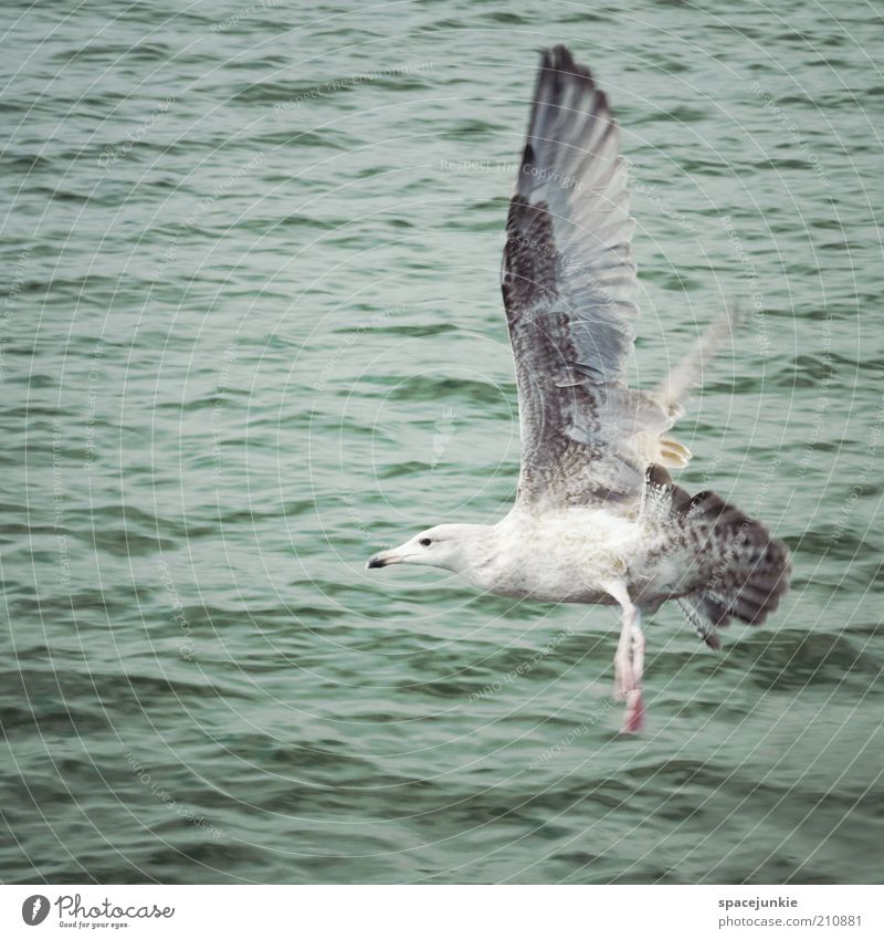 landing Ocean Water Flying Bird Wing Free Freedom Wet Lake Feather Calm Animal Span Flight of the birds Air