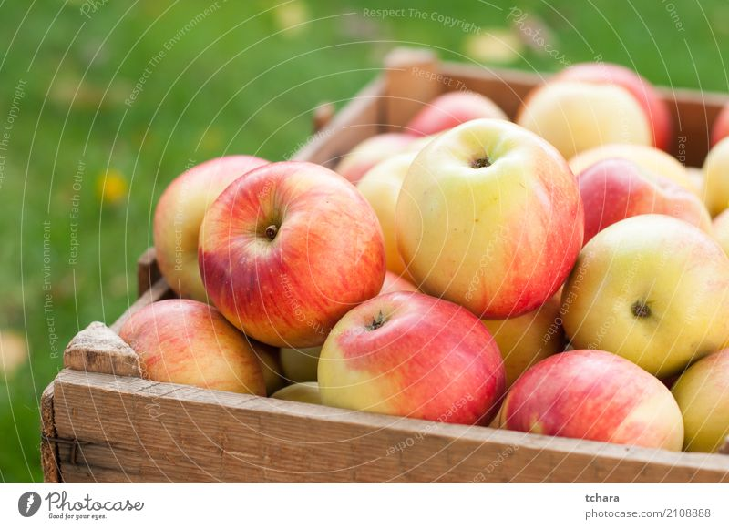 Ripe apples Fruit Apple Nutrition Vegetarian diet Diet Summer Group Nature Tree Wood Fresh Bright Delicious Natural Juicy Green Red White Colour background
