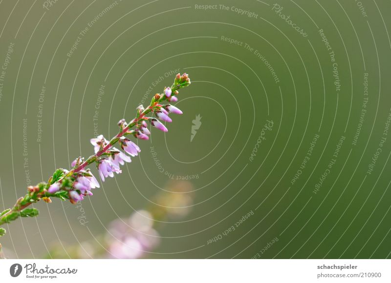 Nature Plant Blossom Environment Violet Blossoming Blossom leave Mountain heather Heather family