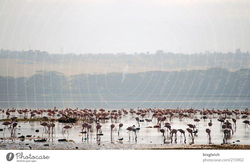 Lake Pink Africa Lakeside To feed Safari National Park Flock Light Kenya Flamingo