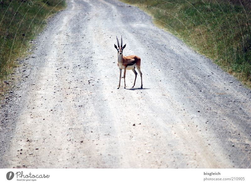 Animal Africa Wild animal Surprise Light National Park Kenya Deer crossing Antelope