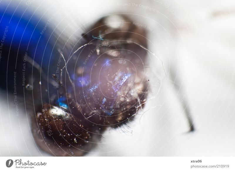 portrait Animal Insect Head Compound eye Eyes Blue Glittering Colour photo Close-up Detail Macro (Extreme close-up) Animal portrait Copy Space right