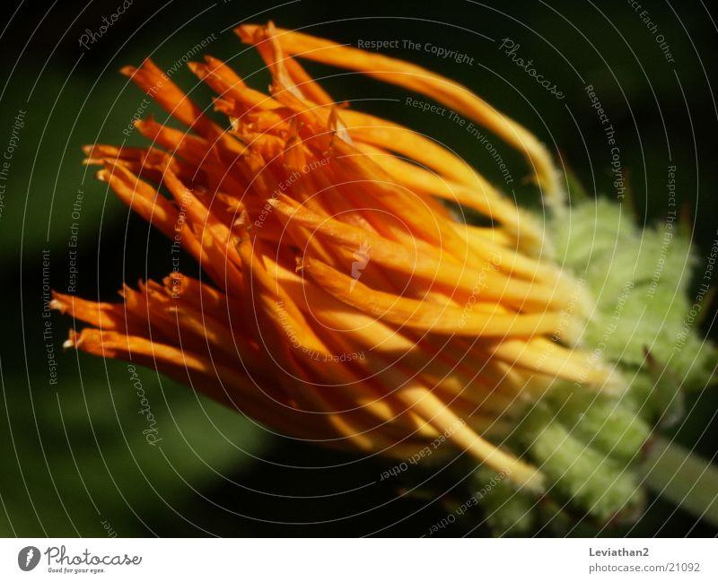 Orange Faded Marigold
