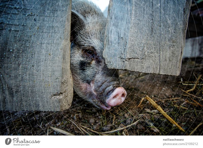 mini pig Summer vacation Animal Pet Farm animal Swine 1 Wood Fence Wooden fence Observe To feed Looking Happy Cuddly Natural Curiosity Cute Gray Pink Happiness