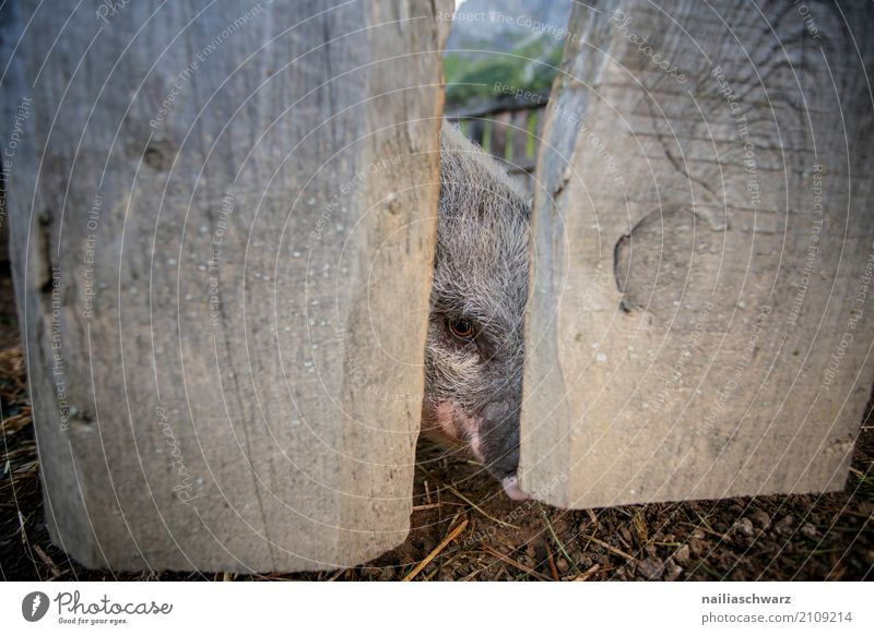 minipig Summer Agriculture Forestry Animal Pet Farm animal Animal face Swine mini pig 1 Wooden fence Fence Observe To feed Looking Happiness Happy Natural