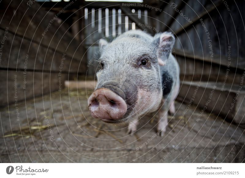 minipig Meat Organic produce Summer Farm Agriculture Forestry Village Animal Pet Farm animal Swine mini pig 1 Barn Enclosure Wood Observe Looking Brash Funny