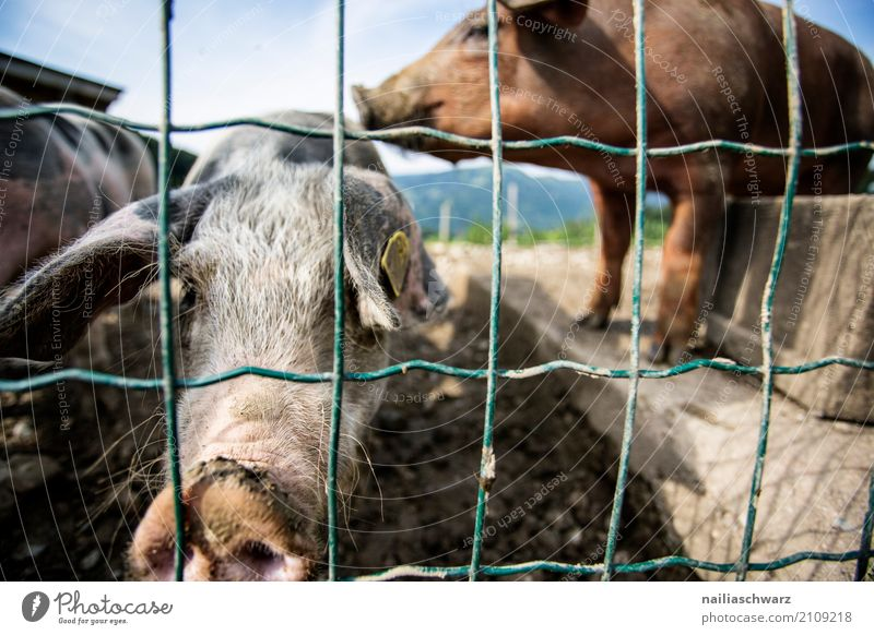 pig farm Summer Farm Farmer Agriculture Forestry Alps Animal Farm animal Swine 2 Fence Observe Discover Relaxation Kissing Stand Dirty Natural Curiosity Cute