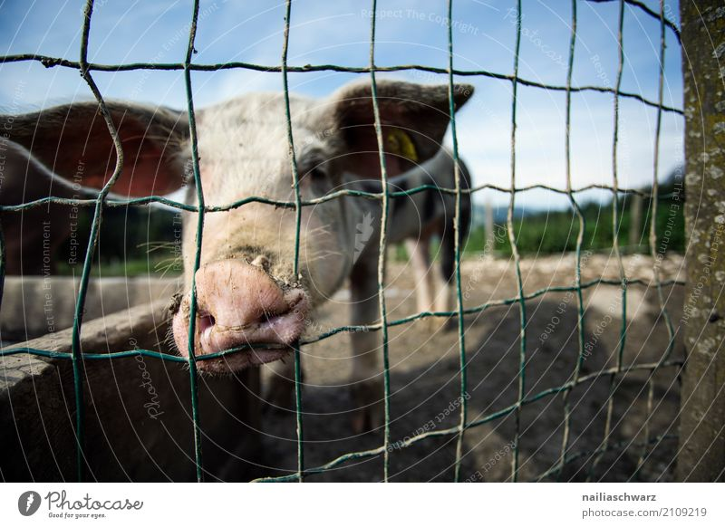 Pigsty in the Alps Summer Agriculture Forestry Environment Nature Landscape Mountain Village Animal Pet Farm animal Swine 1 Fence Steel Observe Looking