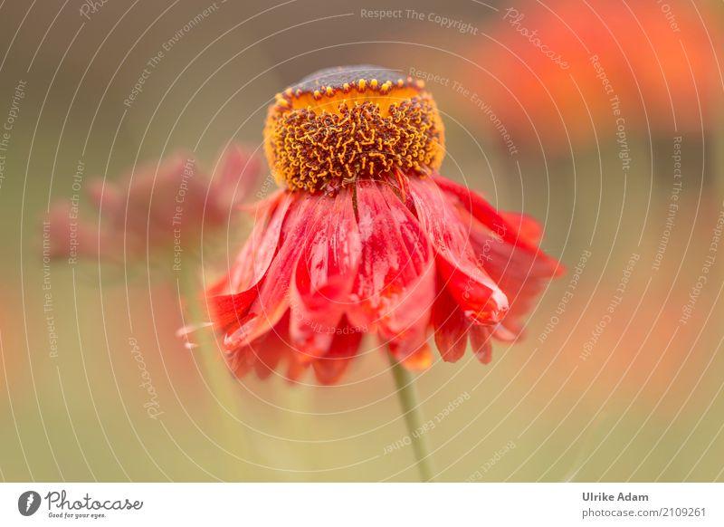 The Red Sun Bride (Helenium) Elegant Design Harmonious Relaxation Calm Arrange Decoration Wallpaper Image Poster Card Nature Plant Summer Rain Flower Blossom