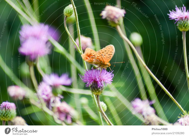 Orange butterfly posed on mauve flowers Design Life Summer Garden Art Environment Nature Animal Flower Leaf Butterfly Collection Flying Bright Small Natural