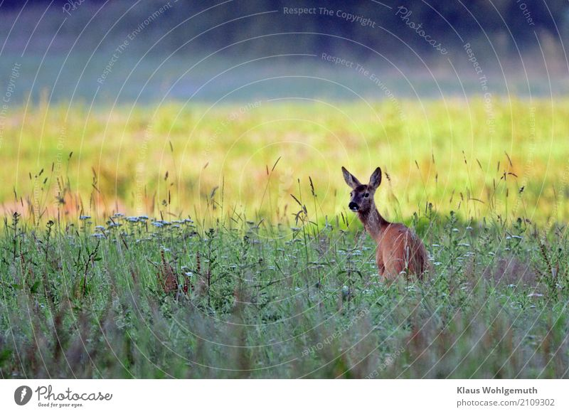 morning toilet Environment Nature Plant Animal Summer Beautiful weather Grass Foliage plant Meadow Forest Animal face Pelt Roe deer Female deer 1 Observe