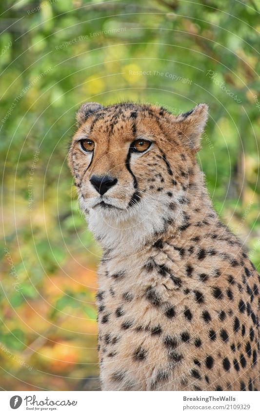 Close up portrait of cheetah looking at camera Nature Animal Autumn Wild animal Animal face Zoo 1 Looking Sit Stand Beautiful Green Cheetah Vantage point Low