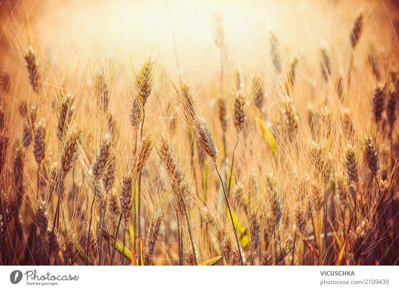 Golden ears of wheat on cereal field Grain Lifestyle Design Summer Thanksgiving Nature Field Yellow Ear of corn Grain field Grain harvest Wheat Sunset Light