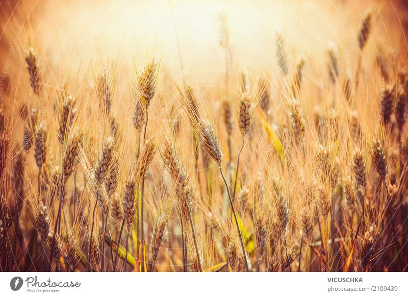 Nature Summer Yellow Lifestyle Design Field Agriculture Grain Wheat Ear of corn Grain field Barley Thanksgiving Spelt Grain harvest Millet