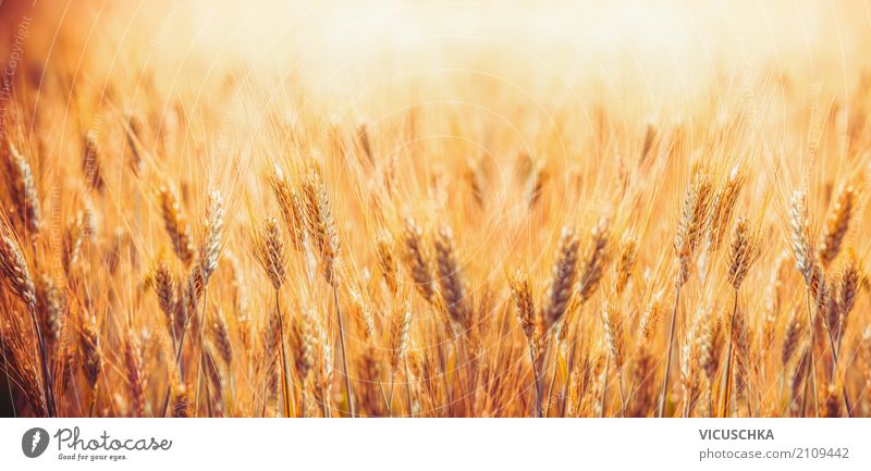 Golden grain field Design Summer Nature Landscape Autumn Beautiful weather Plant Agricultural crop Field Flag Yellow Background picture Agriculture Grain field