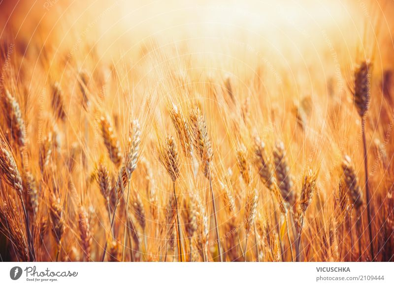 Golden grain field Lifestyle Summer Agriculture Forestry Nature Field Yellow Grain Grain field Sunlight Mature Agricultural product Wheat Wheatfield